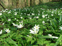 Wood anemones in Grove Wood
