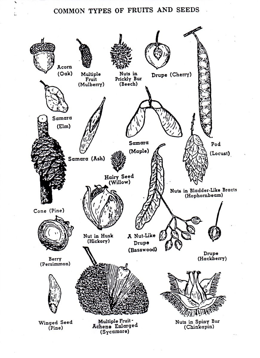 biotechguide  identification of fruits and seeds