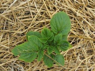 C t cuisine c t jardin h patate - Pomme de terre sous paille ...