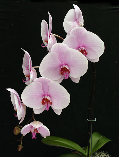 Phalaenopsis Orchid Care Phalaenopsis Orchid Care: how do you care for orchids after they bloom