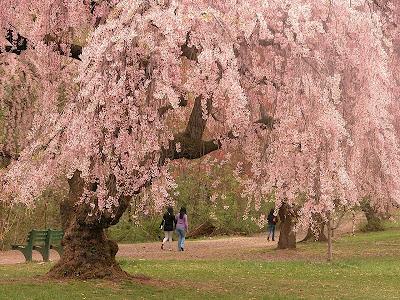 cherry blossom japanese art. Cherry blossom is an omen of