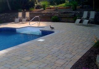 duck near swimming pool