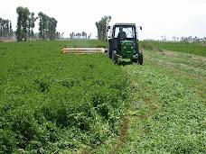 Corte o Siega de alfalfa