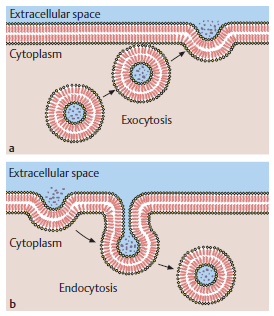 The Human Body: Endocytosis and Exocytosis