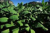 Siembra de Tabacos en Pinar de Rio, Cuba