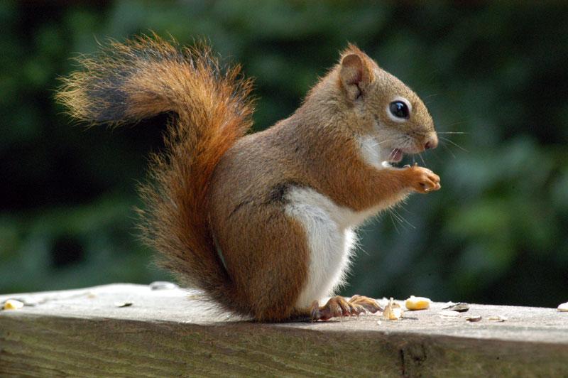 Northern Flying Squirrel Range