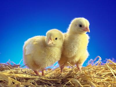 Imágenes de pollitos