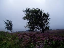 ハワース荒野の写真です。いかに風が強いか、木の傾き方でわかります。