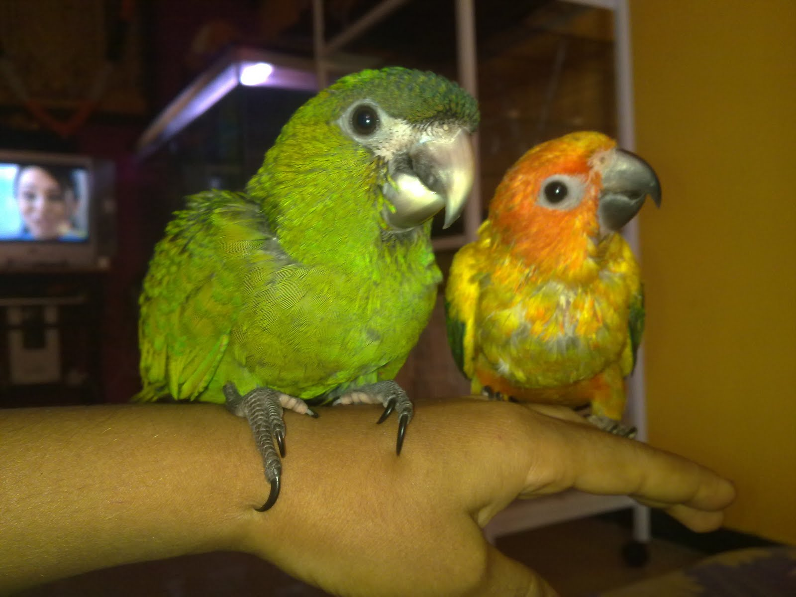 Preethi Farms (exotic birds breeders): Hand Tamed Birds for Sale.