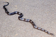 Drove up next to this Black Snake. It did not move.