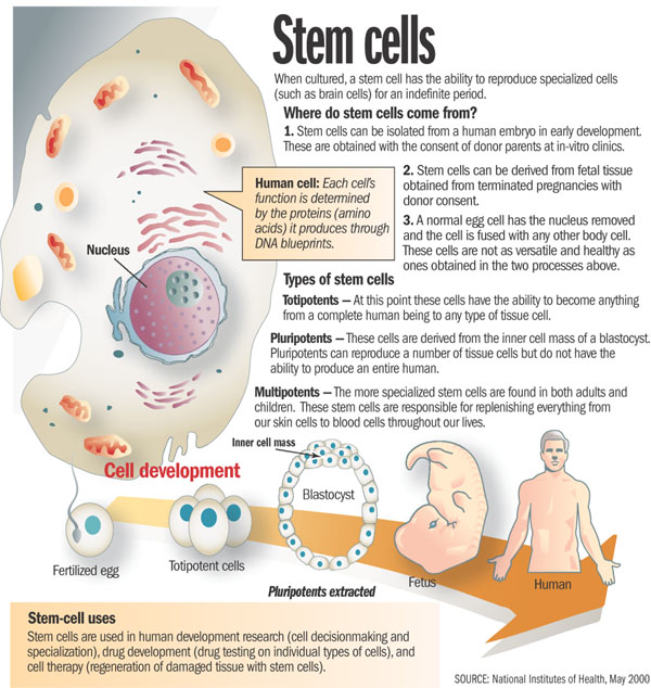 How could I explain stem cell research in a simple way in my controversy paper?