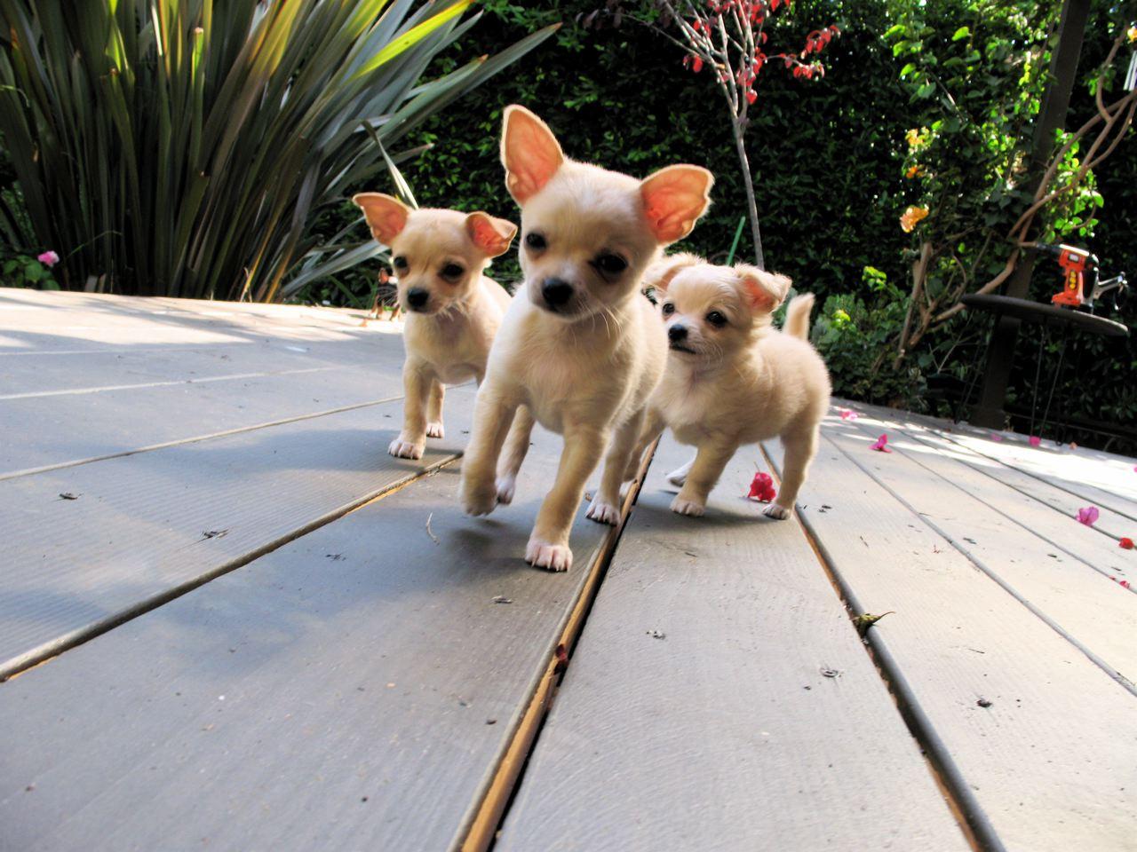[triplet+chihuahuas]