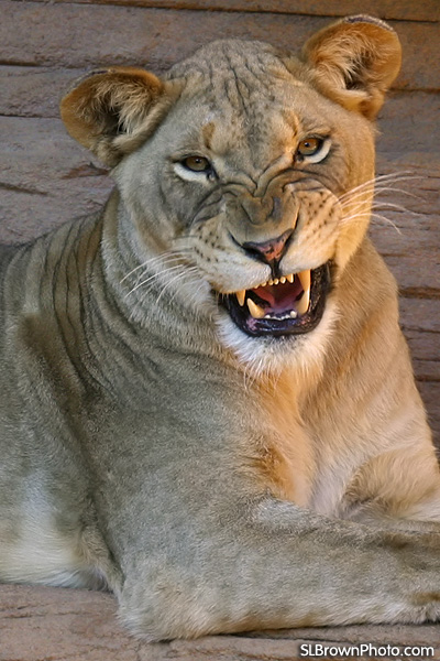 Don T Mess With The Lioness The Progressive Defence Blog