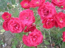Să nu uităm nicicând, SĂ IUBIM trandafirii ... !!!