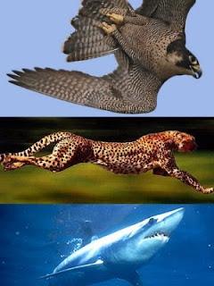Animales más veloces: Halcon-Guepardo-Tiburon