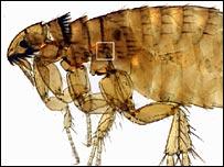 Almohadilla de resilina en una pulga