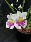 miltonipsis phalaenopsis