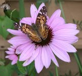 raising painted ladies (kit)