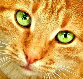 Fluffy Orange Cat With Green Eyes