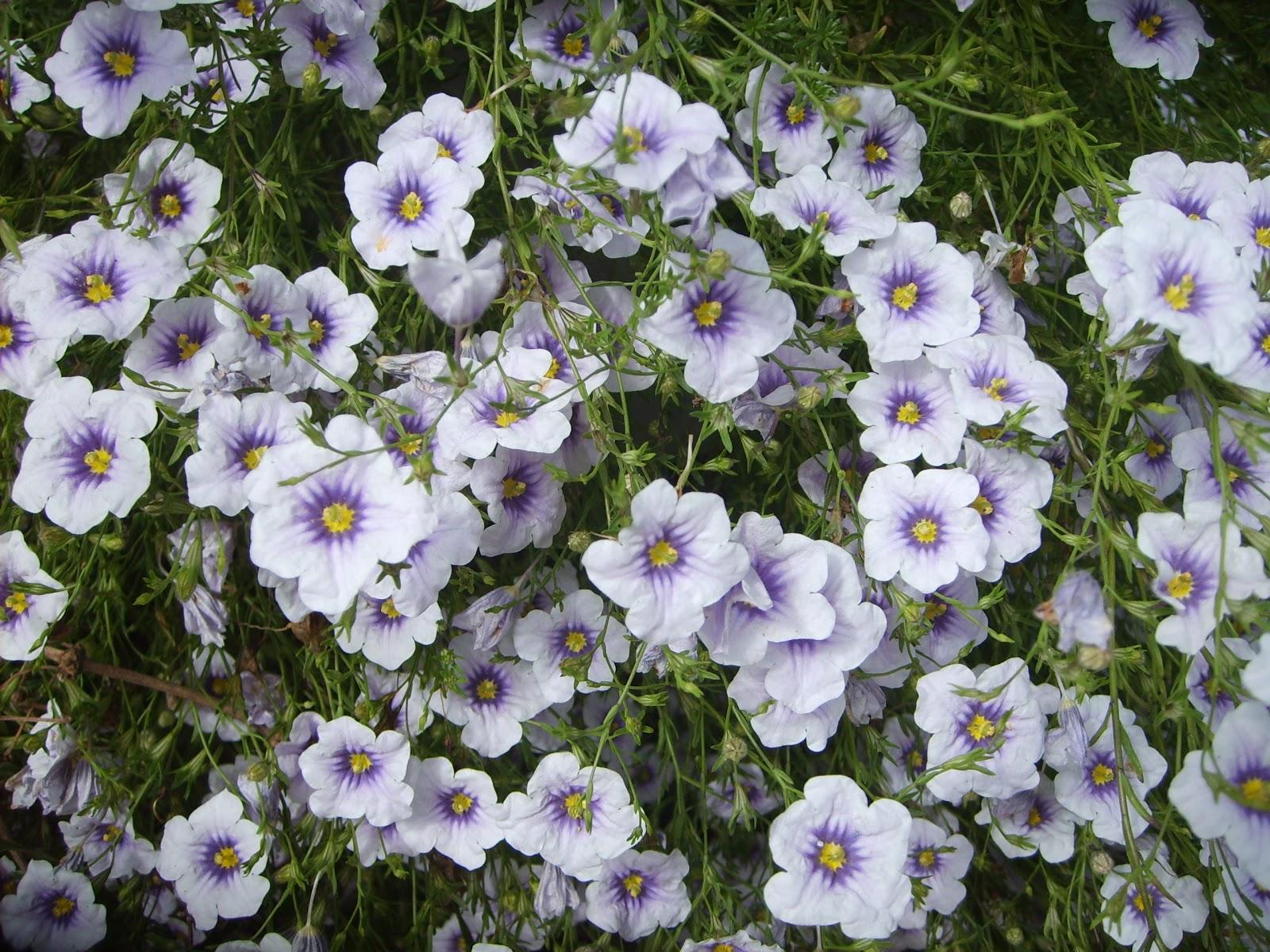 jardim plantas nativas:Colorindo a paisagem ::: Plantas nativas do (meu) jardim