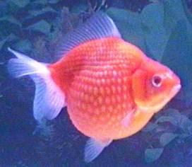 foto ikan mas