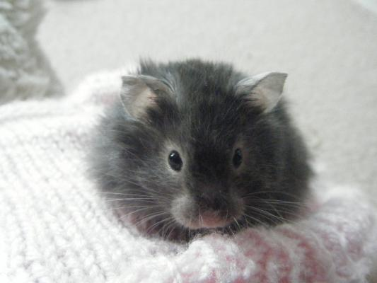 Black Long Haired Syrian Hamster.Syrian Hamster Care Home ...