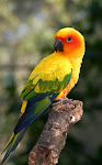 Sun Conure