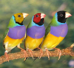 Gouldian Finch