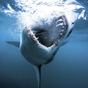 th_Shark_080123033854398_wideweb__300x300,1.jpg