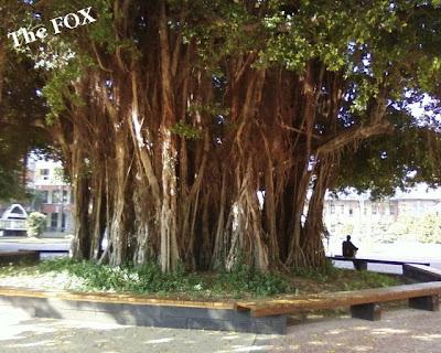台南一中大榕樹