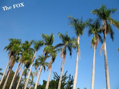 台南老樹大王椰子