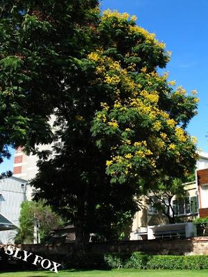 台南老樹盾柱木