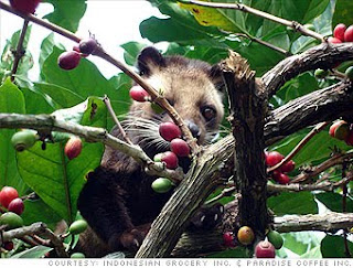 About Briefly Kopi Luwak: Mongoose Coffee