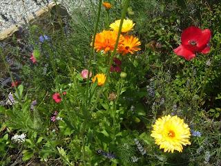 Ringelblume Heilpflanze 2009