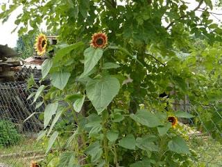 Sonnenblumenöl - Helianthus annuus
