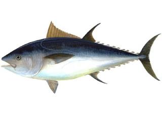 Cimarrón, rico en grasa Omega-3 y son Pescados de nueva GENERACION