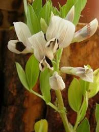 Flor de haba