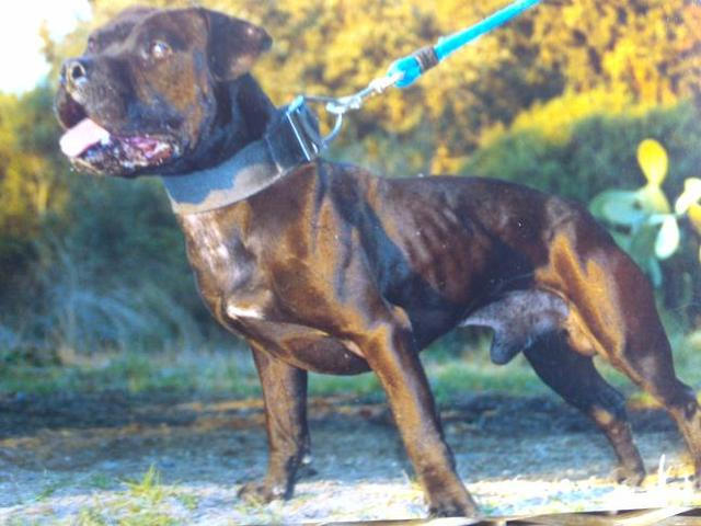 ... war dogs, too much has been lost in the Neapolitan Mastiff - m5x.eu