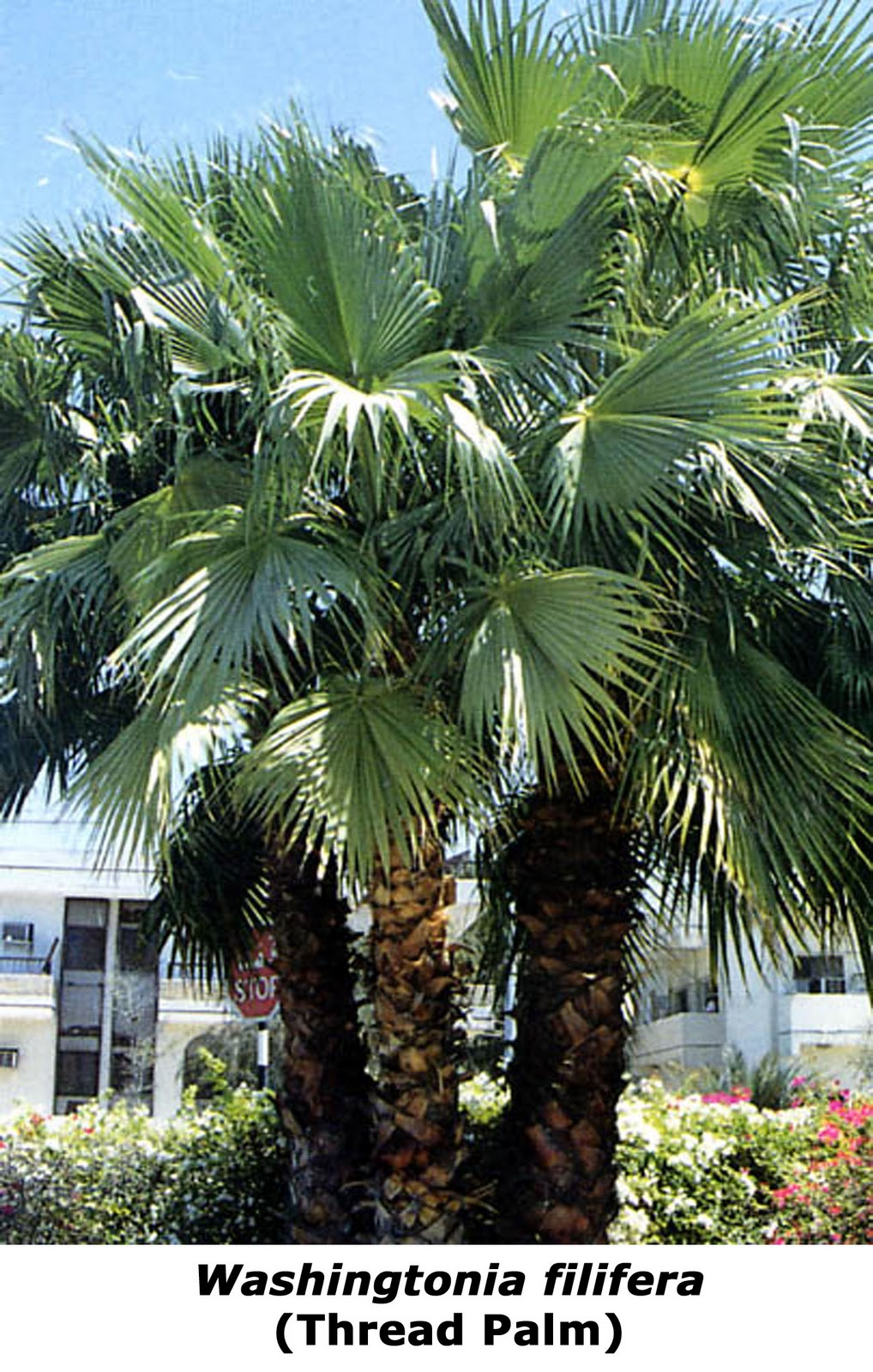 buildfun palm washingtonia filifera. Black Bedroom Furniture Sets. Home Design Ideas