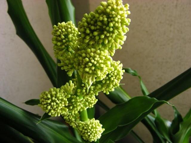 Tuoksutraakkipuun kukka