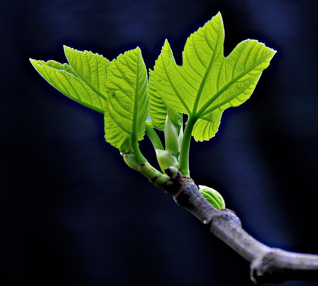 Parable Of The Budding Fig Tree And The Fig Technology Of The Heart