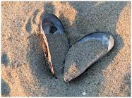 Några snäckor på vår strand