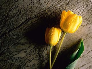 tulipan.jpg (1024×768)