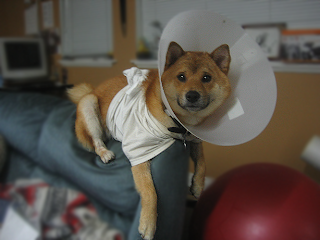 sickpuppy Shiba Inu A picture of the invalid