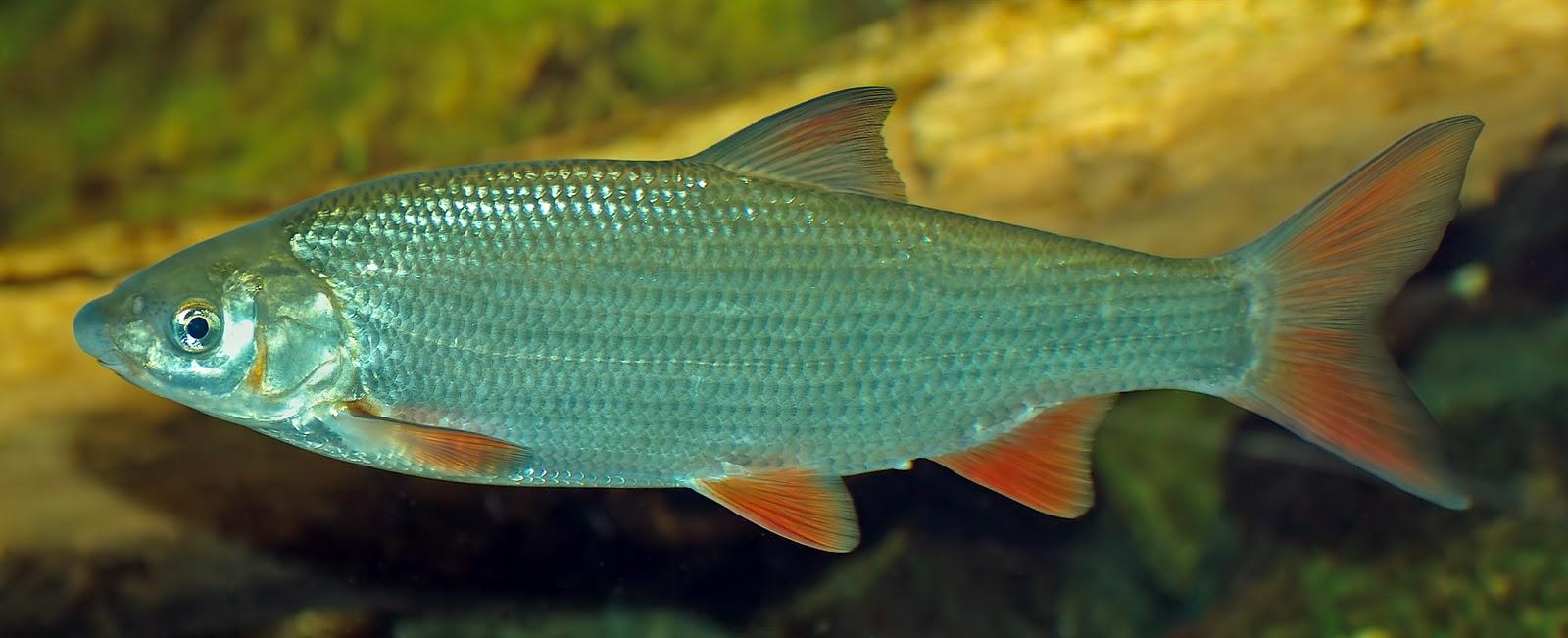 Ribolov tehnike mamci i pribor ribolov skobalj podust for Fisch bilder