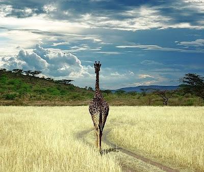 Giraffe in Angola