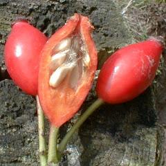 Les cynorrhodons, fruits de l'églantier.