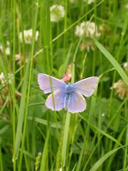 Ce papillon s'appelle l'argus.