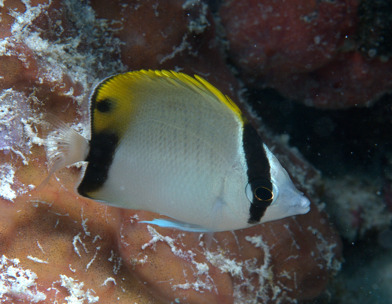 under pressure world: Juvenile Reef Butterflyfish- Key Biscayne, FL