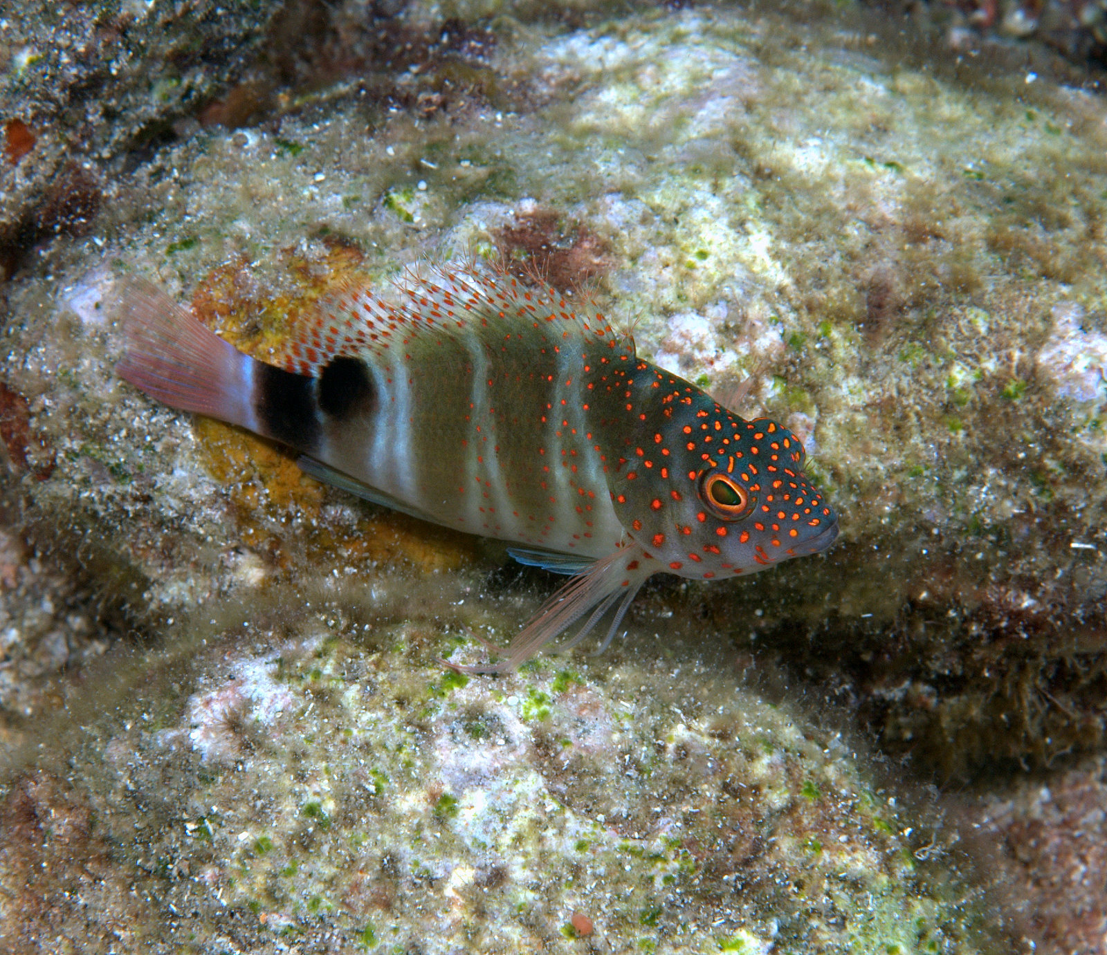 under pressure world: Redspotted Hawkfish- Dominica